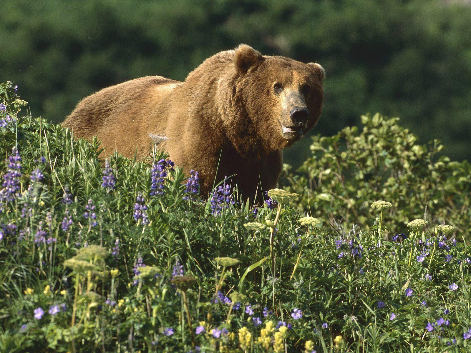 wallpaper title grizzly bear - photo #1