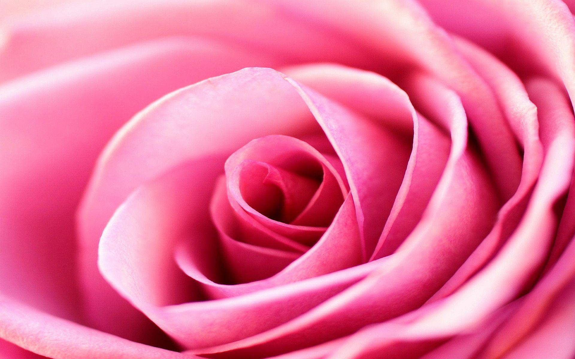 Pink Rose Backgrounds