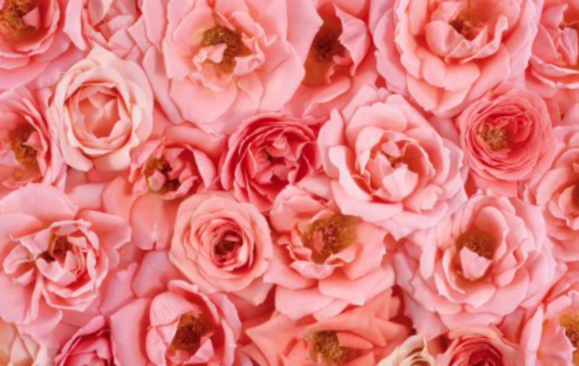 rose flower backgrounds wallpaper cave
