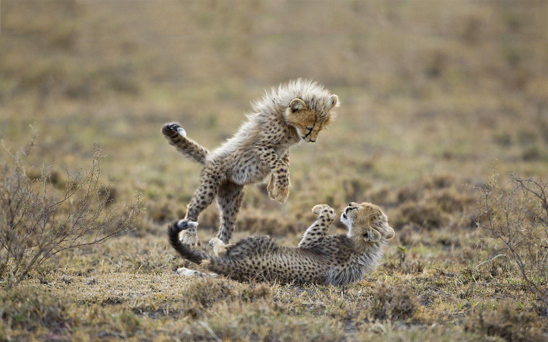 Baby Cheetah Wallpaper Widescreen - Imanoela