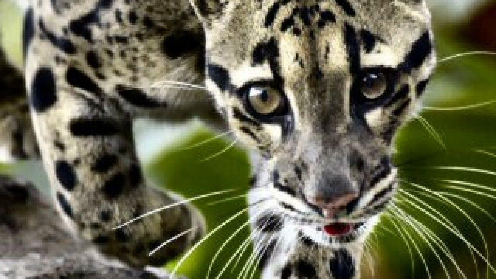 clouded leopard wallpaper - photo #10