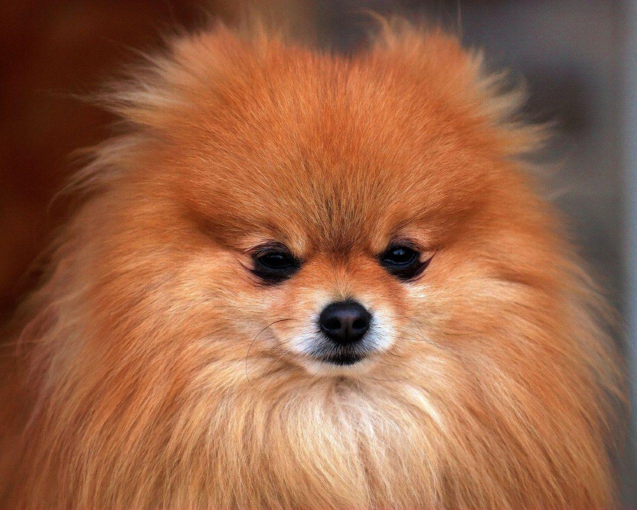 free pomeranian puppy wallpaper - photo #4