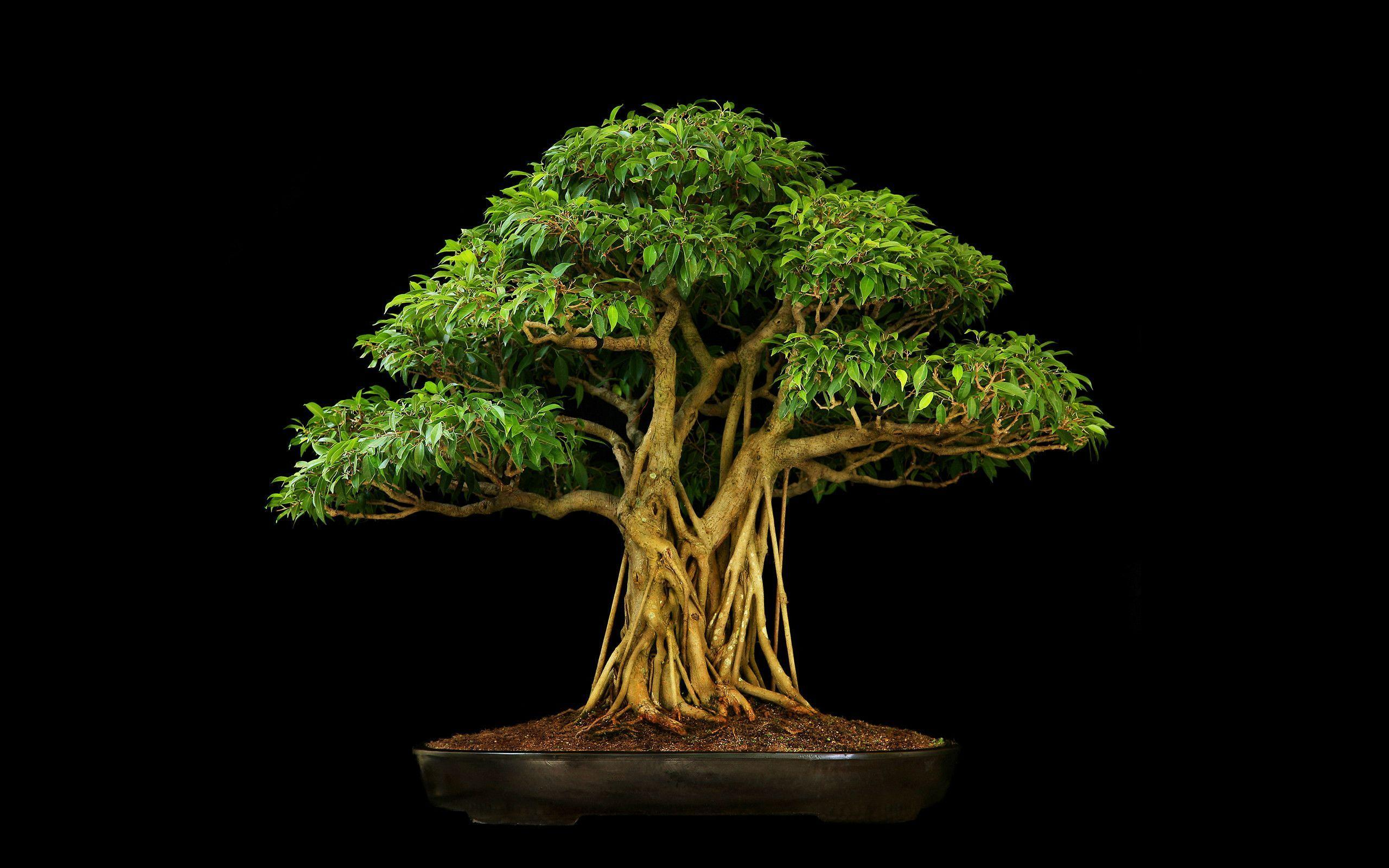 Tree Bonsai Tree Black leaves wallpaper | 2560x1600 | 67907 ...
