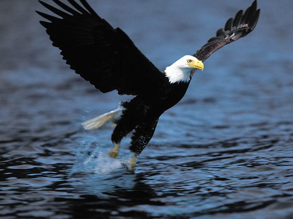 Bald Eagle Desktop Wallpapers | Bald Eagle Birds Wallpapers | Cool ...