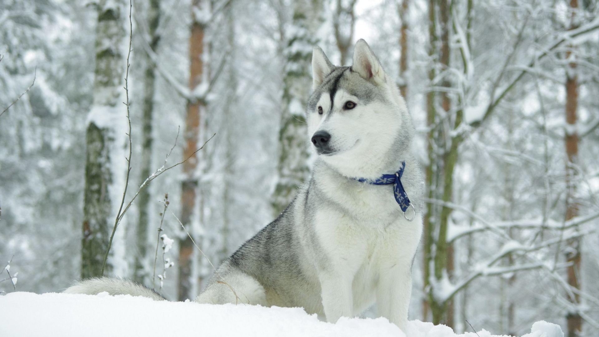Beautiful Alaskan Malamute in the snow wallpapers and images ...