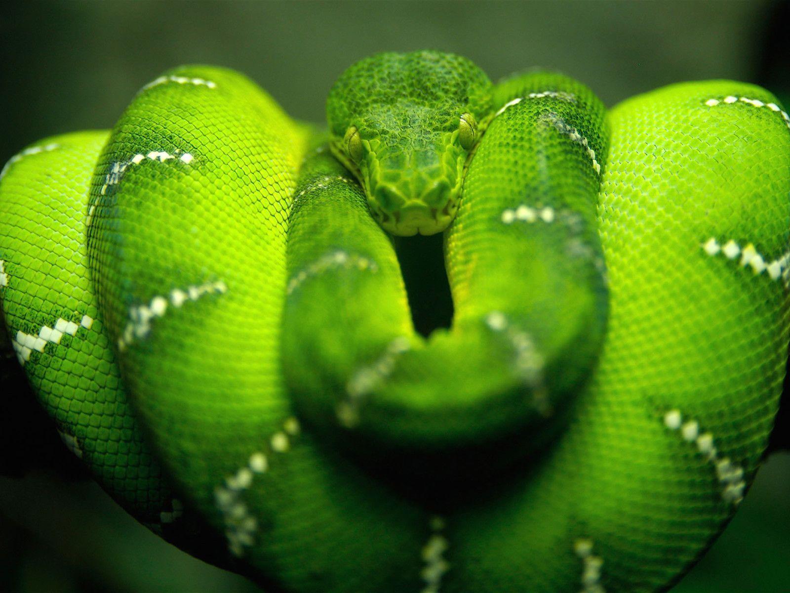 Snake Desktop Wallpapers | Snake Wallpapers Free download | Cool ...