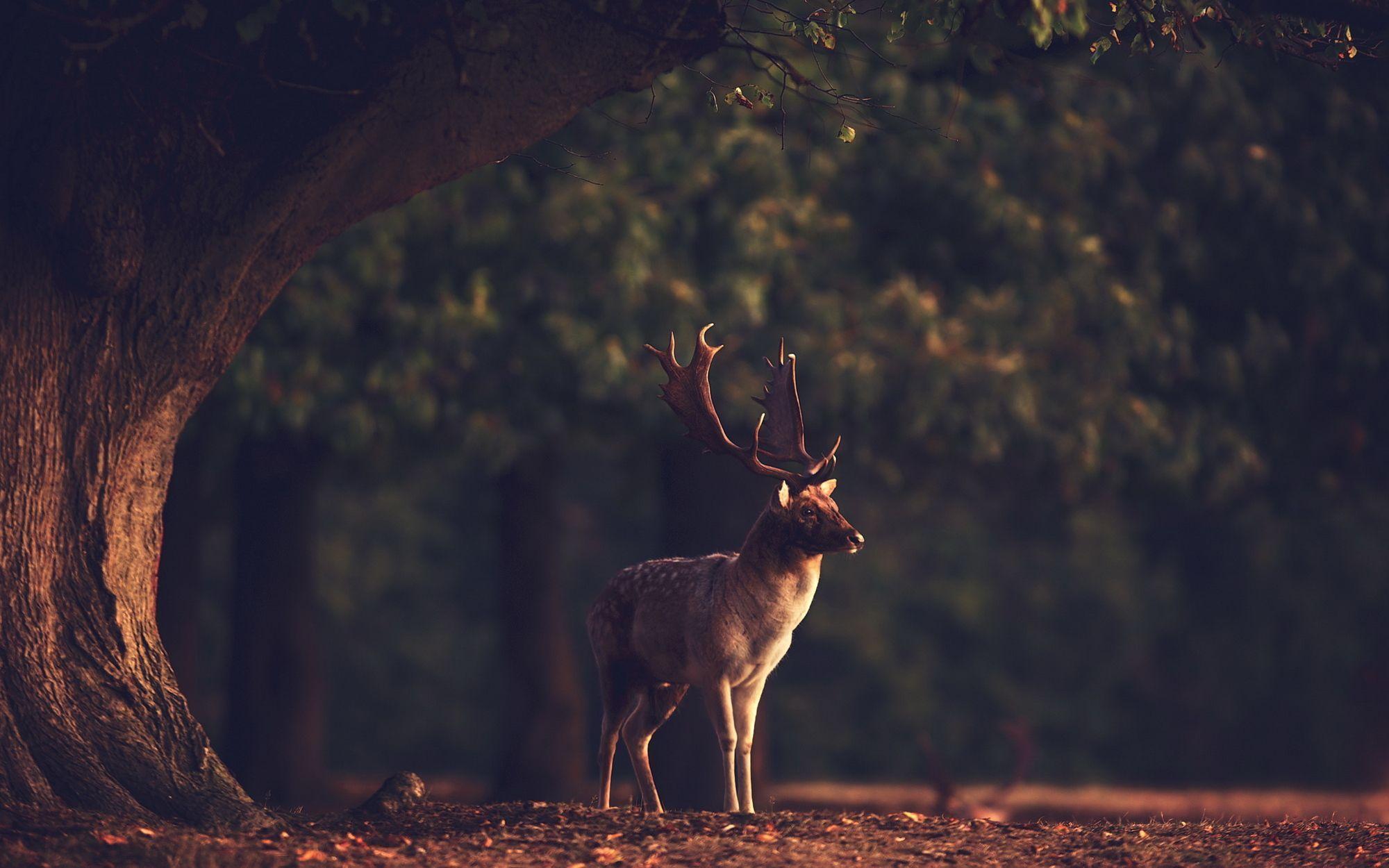 deer wallpaper for my desktop - photo #14