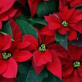 Christmas Poinsettias Wallpapers