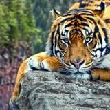 Tiger Desktop Backgrounds