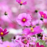Flower Pictures Wallpapers