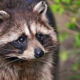 Aesthetic Raccoon Wallpapers