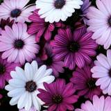 Purple And White Flowered Wallpapers