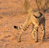 African Wild Cat Wallpapers