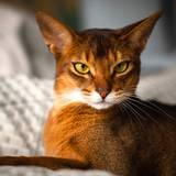 Abyssinian Wallpapers