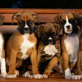 Boxer Puppies Wallpapers