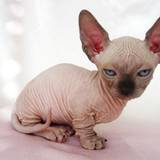 Sphynx Kittens Wallpapers