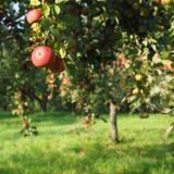 Apple Garden Wallpapers
