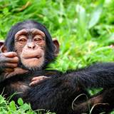 Chimps Wallpapers