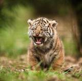 Tiger Cubs Wallpapers
