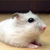 Roborovski Dwarf Hamster Wallpapers