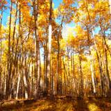 Quaking Aspen Trees Leaves Forest Wallpapers
