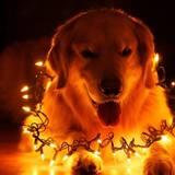 Christmas Dog Light Wallpapers