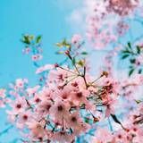 Blossom 4k HD Wallpapers
