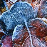 Frost Leaves Wallpapers