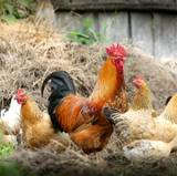 Chicken Computer Wallpapers