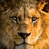 Animal Lion HD Wallpapers