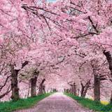 Computer Cherry Blossom Tree Wallpapers