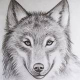 Wolf Pencil Drawings Wallpapers
