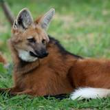Maned Wolf Wallpapers